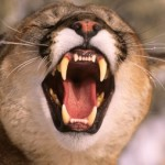 cropped-mountain-lion-copy.jpg